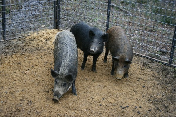 The feral hog population has ...