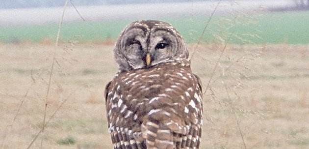 barred-owls-are-among-the-most-common-and-often-heard-arkansas-owls-those-who-watch-closely-may-see-one-perched-sleepily-on-a-post-or-in-a-tree-during-the-day