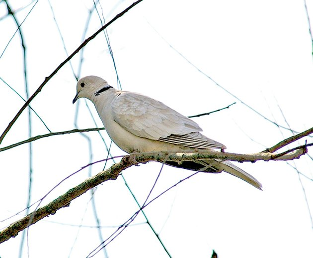 the-black-band-on-the-back-of-the-collared-doves-neck-gives-the-bird-its-common-name-and-is-a-very-distinguishing-field-mark