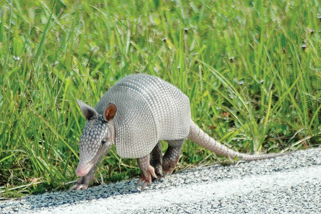 armadillos-are-often-seen-on-roadways-particularly-at-night-unfortunately-many-die-after-encounters-with-vehicles