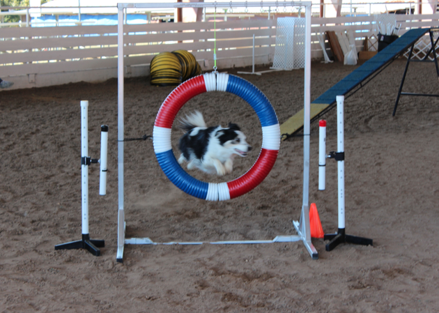a-dog-competes-in-an-obstacle-course-as-part-of-a-little-rock-dog-training-club-agility-trial-friday-in-little-rock
