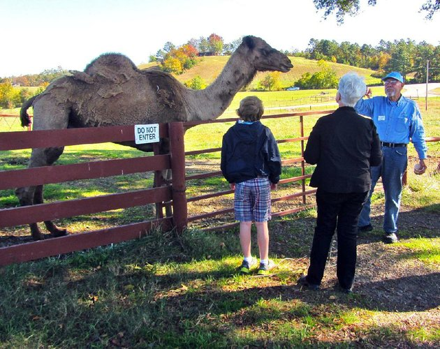 at-heifer-ranch-near-perryville-guide-lyle-riebe-introduces-visitors-to-a-camel-named-abu