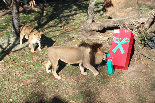 the-little-rock-zoos-lions-check-out-presents-left-for-them-christmas-morning