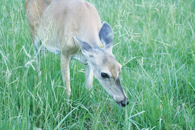 a-mature-white-tailed-doe-browses-on-wild-grasses-in-some-of-arkansas-more-populous-areas-deer-turn-to-shrubs-flowers-and-gardens-to-fill-their-bellies-that-issue-and-an-increase-in-deer-vehicle-collisions-have-lead-some-cities-to-institute-urban-archery-hunts