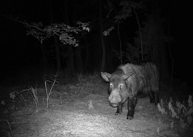 feral-hog-researcher-jaret-rushing-captured-this-image-of-a-big-arkansas-razorback-on-a-game-camera-wild-boars-are-formidable-animals-that-can-be-extremely-dangerous