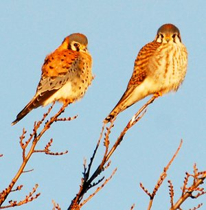 Photo by Terry Stanfill A pair of kestrels perch atop a tree near Gentry on Jan. 15.