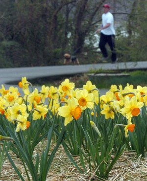 Signs of spring are beginning and that means it's time for  the annual Camden Daffodil Festival.
