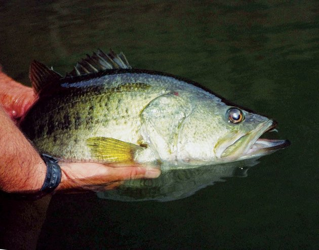 whats-americas-favorite-freshwater-sport-fish-no-other-comes-close-its-the-largemouth-bass