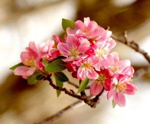 Crab apple trees bloom in Gravette.