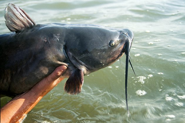 wise-catfish-anglers-practice-restrictive-harvest-releasing-large-fish-like-this-to-be-caught-another-day-and-keeping-smaller-more-abundant-fish-to-eat