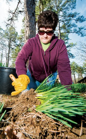 Master Gardener Sue Benge digs up daffodils at the home of Florene Phipps in Conway to be repotted for the plant sale.