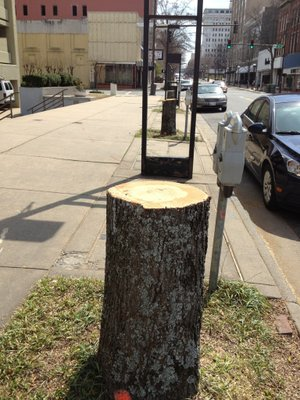 Oak trees in the 100 and 200 blocks of Main Street in Little Rock were reduced to stumps Saturday as part of a project to improve water runoff in the area.