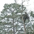 HOUSE SITTER STAFF PHOTO FLIP PUTTHOFF A bald eagle is seen March 14 at the edge of its nest at Beav...