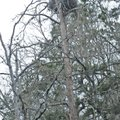 STAFF PHOTO FLIP PUTTHOFF A bald eagle is seen at the edge of its nest March 14 at Beaver Lake in th...