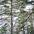 STAFF PHOTO FLIP PUTTHOFF The newest nest on Beaver Lake is seen March 21 at the top of a pine tree ...