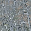 STAFF PHOTO FLIP PUTTHOFF A bald eagle roosts about 20 yards from its nest near the Beaver Lake dam.