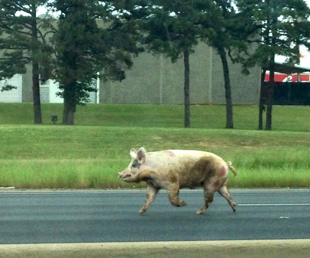 a-pig-runs-down-westbound-interstate-30-near-65th-street-in-little-rock-on-thursday-may-8-2014