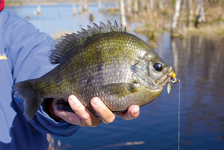 Power tactics trigger reflexive strikes from bream for Bream fishing bait