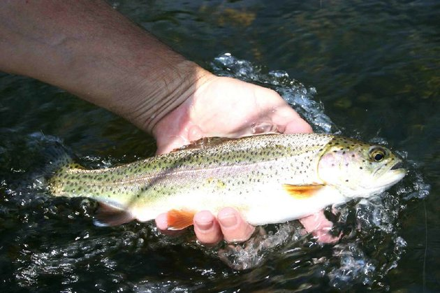 despite-low-muddy-water-the-writer-and-his-son-caught-seven-rainbow-trout-tuesday-on-the-little-red-river-between-lobo-landing-and-mossy-shoal-near-heber-springs