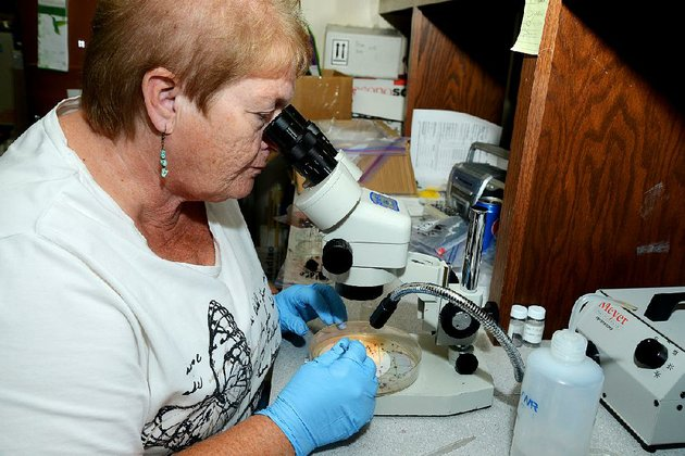 barbara-lewis-a-research-associate-in-entomology-at-the-university-of-arkansas-division-of-agriculture-examines-fruit-flies