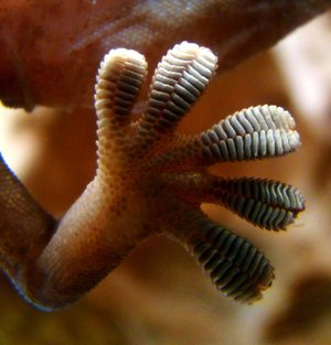 The sole of a gecko foot is covered in tiny folds of skin that are covered in branching tiny hairs called seta that allow it to stick, then unstick from a surface quickly and efficiently.