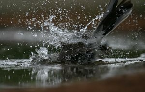Special to the Democrat-Gazette/JERRY BUTLERWater cascades over the body of an olive green sparrow as it bathes in a puddle.
