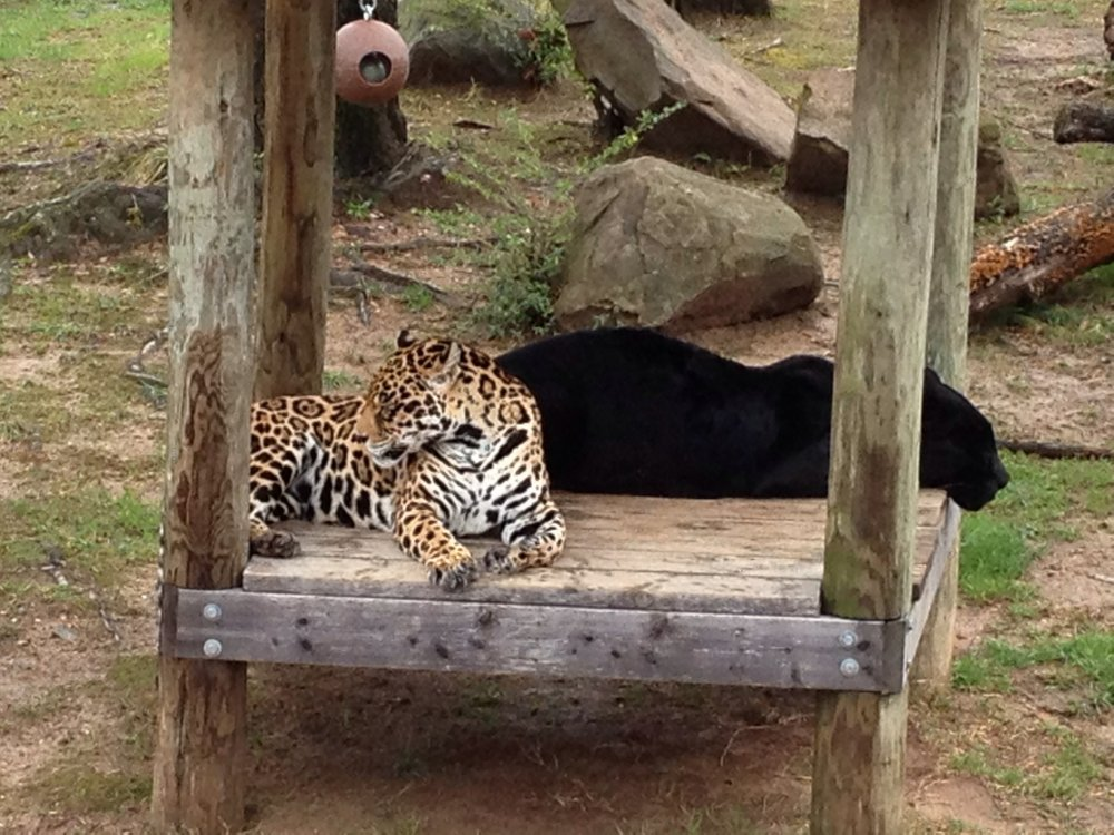 Perfect The Little Rock Zoo Jaguars Are Pictured In Their Exhibit In This 2013 File  Photo.