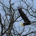 A bald eagle takes flight from shoreline trees at Beaver Lake Jan. 6 during the annual eagle count c...