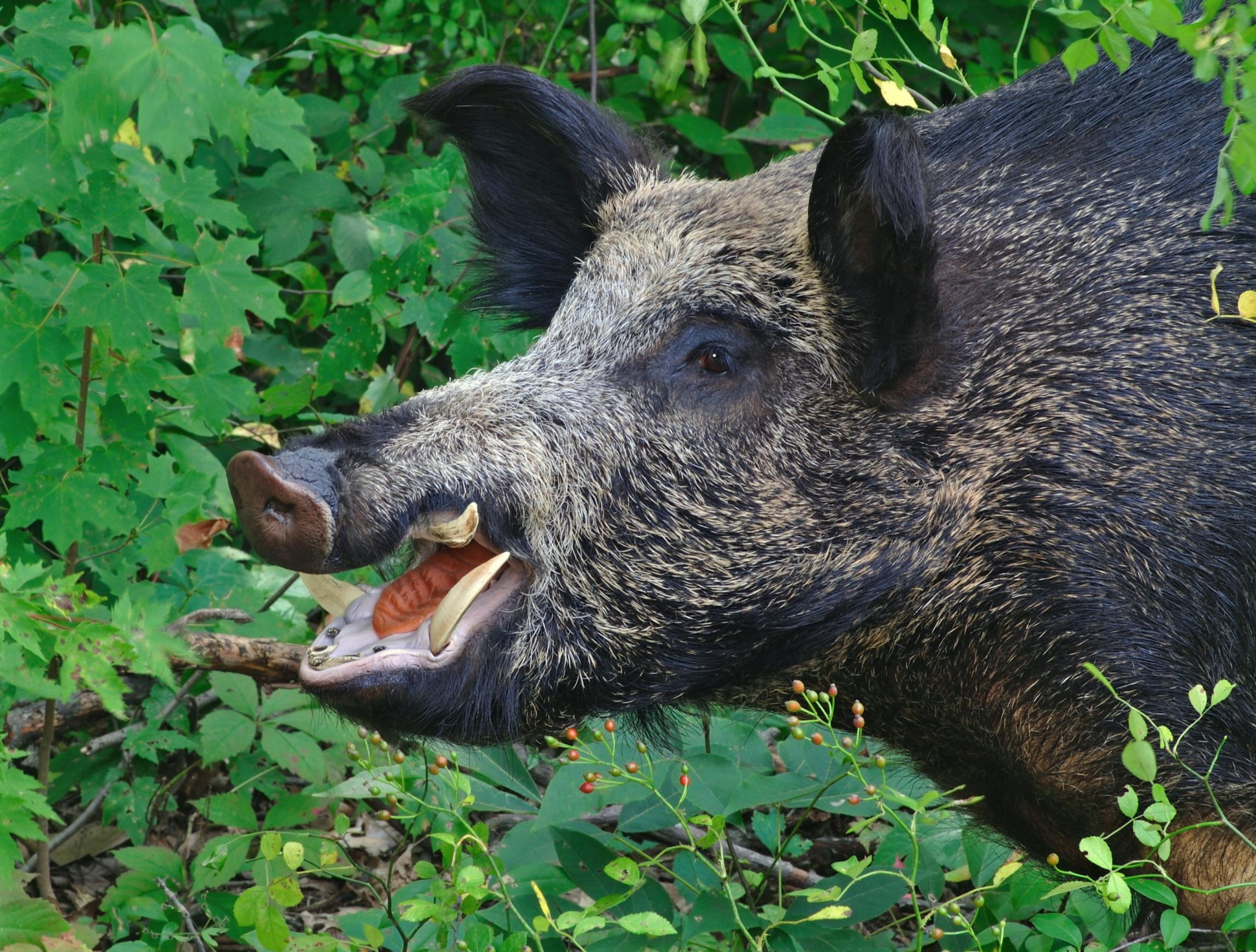 Feral hog problems in Arkansas described as 'World War III'