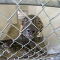 Keisha, a female pit bull mix, looks out from a kennel Friday in the main dog room at the Springdale...