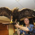 Ron Haymon shows the mount of a golden eagle he donated to Hobbs State Park-Conservation Area. Haymo...