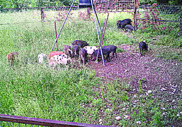 feral-hogs-usually-nocturnal-feed-during-the-day-inside-a-corral-trap-in-morning-star