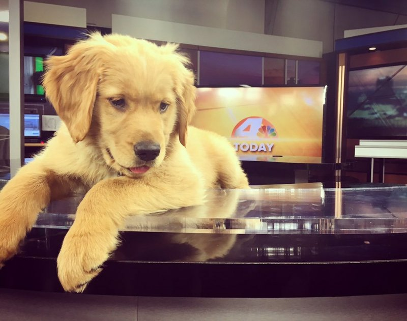 Photo Little Rock S Kark Adds Golden Retriever Puppy To Morning
