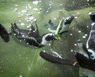 World Penguin Day: Little Rock penguins