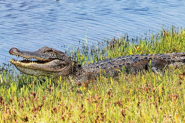 2016-file-photo-an-alligator-suns-itself-on-the-marsh-bank-at-pintail-wildlife-drive-in-cameron-prairie-national-wildlife-refuge