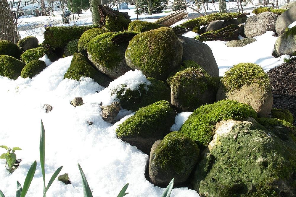 This Shows Moss Growing In The Snow In Dale Sievertu0027s Garden In Waukesha  County, Wis. Moss Is A Versatile Plant To Use In The Garden.