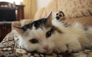 14 Russia Cat Adopts...