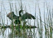 A double-crested cormorant ...