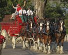 Clydesdales in Little Rock