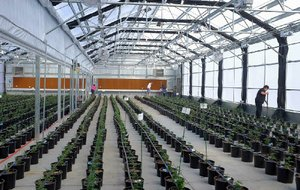 """Marijuana plants grow in a greenhouse at Los Suenos Farms in Avondale, Colo., earlier this year. Scotts Miracle-Gro's stock is getting a boost from marijuana proposals in several states, with one analyst saying Scotts is seen as a """"marijuana growth story."""""""