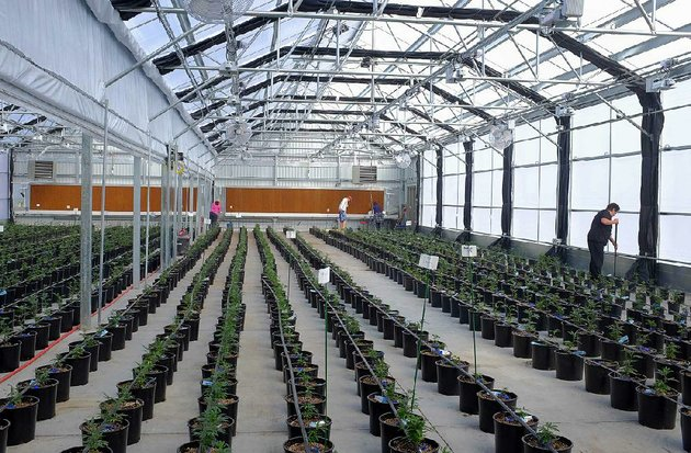 marijuana-plants-grow-in-a-greenhouse-at-los-suenos-farms-in-avondale-colo-earlier-this-year-scotts-miracle-gros-stock-is-getting-a-boost-from-marijuana-proposals-in-several-states-with-one-analyst-saying-scotts-is-seen-as-a-marijuana-growth-story
