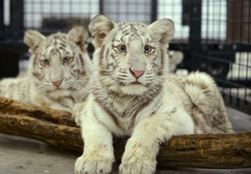 State refuge saves big cats as Colorado zoo shuts