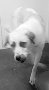 Submitted Photo Buddy is a Great Pyrenees and is great watch dog. He has watched over chickens and other animals and is great with kids. If you live in the country and could use this dog, please call 479-752-7235 and ask for Rick.