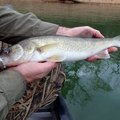 Anglers look forward to the late winter walleye spawning run from Beaver Lake up the White River. Ra...