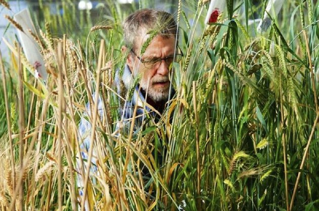 technician-john-mai-checks-on-wheat-grown-in-a-greenhouse-at-the-land-institute-of-salina-kan-in-this-file-photo-provided-by-the-institute-general-mills-on-tuesday-announced-a-partnership-to-help-commercialize-kernza-a-trademark-for-the-grain-which-comes-from-the-perennial-intermediate-wheatgrass-plant