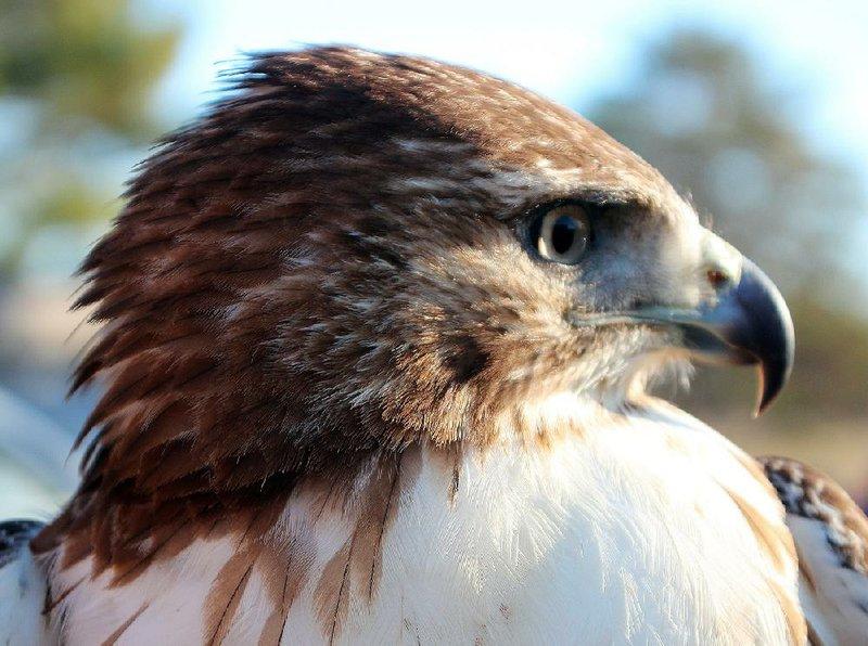 Large Braided Falconry Mews Jesses Female Harris Hawks Female Goshawks Ect
