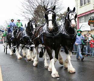 The Sentinel-Record/Lorien E. Dahl CLYDESDALES: The Express Employment Professional Clydesdales make their way onto Bridge Street Friday during the First Ever 14th Annual World's Shortest St. Patrick's Day Parade. The team made its first appearance in the parade this year.