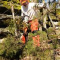 Clippinger, cuts cedar trees. Volunteers and park staff moved them to the perimeter of the glade for...