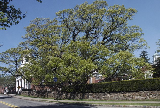 this-2006-photo-provided-by-the-basking-ridge-presbyterian-church-shows-a-600-year-old-white-oak-tree-thats-believed-to-be-among-the-oldest-in-the-nation-in-bernards-nj-crews-are-scheduled-to-remove-the-churchs-tree-which-was-declared-dead-after-numerous-problems-started-appearing-in-the-summer-2016
