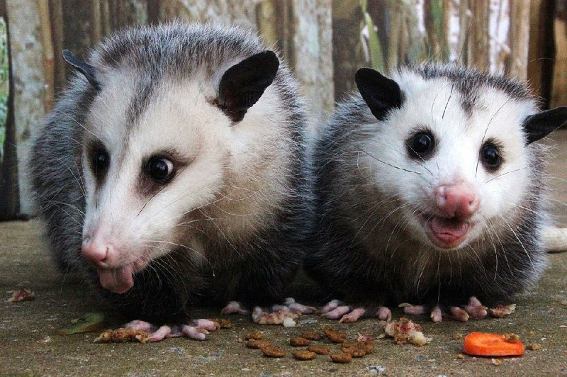 Nature's garbage men': Opossums are plentiful, productive